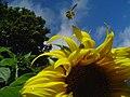 Bee Flying Over a Sunflower - Flickr - born1945.jpg