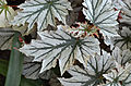Begonia 'Looking Glass' Leaves.JPG