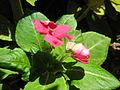 Begonia (4211642810).jpg