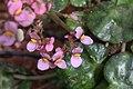 Begonia hydrocotylifolia GotBot 2015 002.jpg