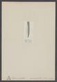 Belemnitella mucronata - - Print - Iconographia Zoologica - Special Collections University of Amsterdam - UBAINV0274 005 10 0003.tif
