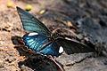 Belus swallowtail (Battus belus belus).JPG