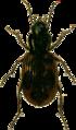 Bembidium varium Jacobson.png