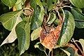 Bereits am Baum verfaulter Apfel.jpg