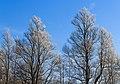Berijpte wilgen (Salix) tegen de vrieslucht. Locatie, Natuurterrein De Famberhorst 01.jpg