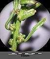 Beta vulgaris subsp. maritima sl4.jpg