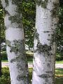 Betula papyrifera bark 2-jgreenlee (5097477193).jpg