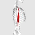 Biceps brachii muscle04.png