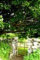 Big Sycamore near Kilrean - geograph.org.uk - 1364971.jpg