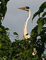 Biguatinga do pantanal -serra do amolar-7958.jpg