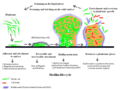 Biofilm lifecycle.png