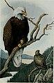 Bird-lore (1915) (14568968397).jpg