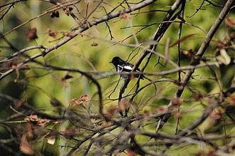 Shivapuri Nagarjun National Park - Birds in Shivapuri Nagarjun National Park