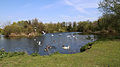 Birds on Hooks Marsh Lake at Fishers Green, Lee Valley, Waltham Abbey, Essex, England 02.jpg