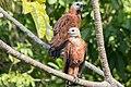 Black-collared Hawk - Gavilán Colorado (Busarellus nigricollis nigricollis) (24539152235).jpg