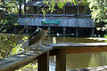 Black-crowned Night Heron (Nycticorax nycticorax) in New Orleans.jpg