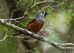 Black-faced Monarch.jpg