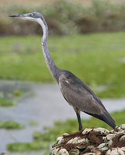 Black-headed heron Species of bird