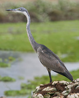 Black-headed Heron (Ardea melanocephala).jpg