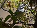 Black-throated Gray Warbler (33673209690).jpg