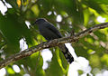 Black-winged Cuckooshrike Coracina melaschistos by Dr. Raju Kasambe IMG 2477 (5).JPG