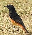 Black Redstart Phoenicurus ochruros Male by Dr. Raju Kasambe DSCN1622 (11).jpg