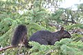 Black Squirrel, Stirling Ontario 3004 (4895236993).jpg