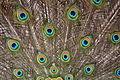 Blauwe pauw (8705786016).jpg