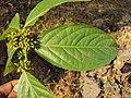 Blepharistemma serratum at Periya (19).jpg