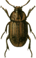 Blitophaga capitata Jacobson.png