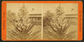 Blossom from the Spanish bayonet, from Robert N. Dennis collection of stereoscopic views 2.png
