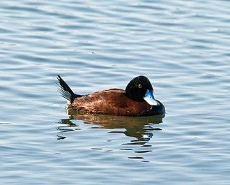 Blue-billed duck - Image: Blue billed Duck male (1)