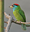 Blue-throated Barbet (Megalaima asiatica) on Kapok (Ceiba pentandra) in Kolkata W IMG 4292