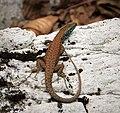 Blue-throated Keeled Lizard (Dalmation Algyroides). Algyroides nigropunctatus (44191020884).jpg