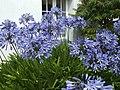 Blue Agapanthus - geograph.org.uk - 492815.jpg