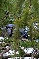 Blue Jay 3373 (4990573057).jpg
