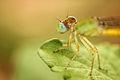 Blue eye fly 1.jpg