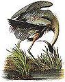Blue heron audubon.JPG
