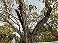 Bo tree(Asathu).jpg
