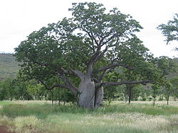 Boab tree in February, Kimberley region, Western Australia.jpg