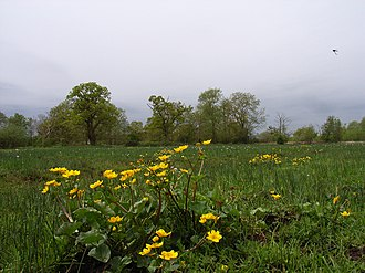 River Bourne, Addlestone - Image: Boggy field beside Mill Bourne geograph.org.uk 166244