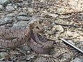 Boiga - Cat Snake IMG 0996.jpg