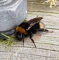 Bombus vestalis female. Vestal Cuckoo Bumble Bee (34073956825).jpg
