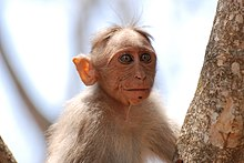 Bonnet Macaque.jpg