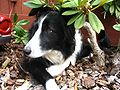 Border Collie - Isla female 4 years old.JPG