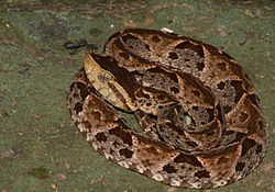Bothrops asper (Panama) coiled.jpg