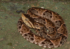 Bothrops asper (Jungtier)