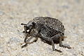Brachycerus repertus? - Garlic weevil (8710065124).jpg