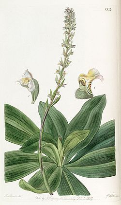 Brachystele bracteosa (as Spiranthes bracteosa) - Edwards vol 23 pl 1934 (1837).jpg
