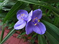 Bracted Spiderwort (Tradescantia or Cow Slobber) (2).jpg